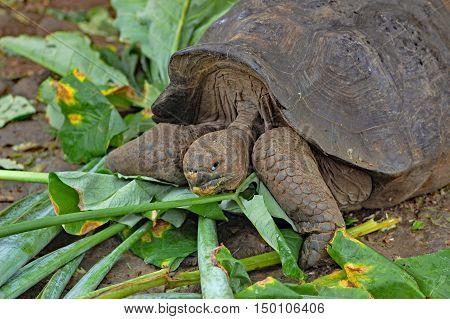 Giant Galapagos tortoise feeding on leaves,Galapagos Islands