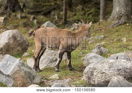 A lone, baby ibex on a cliff