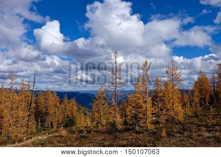 Yellow trees under blue sky with clouds. Frosty Mountain. Manning Provincial Park. Hope. British Columbia. Canada.