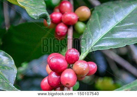 coffee coffee bowler coffee bean color art red green