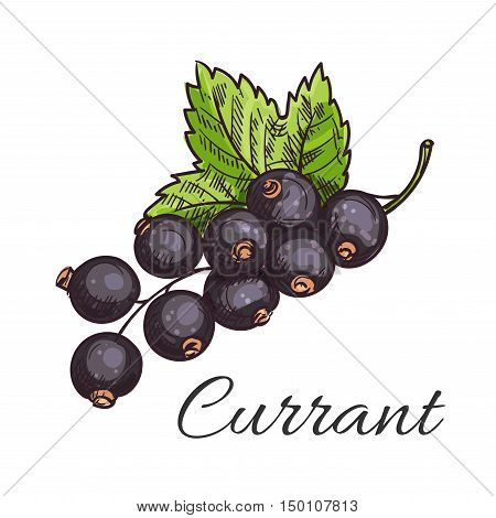 Black currant fruit sketch icon of branch with cluster of ripe berries and green leaf. Healthy natural vitamin, vegetarian dessert, food packaging design