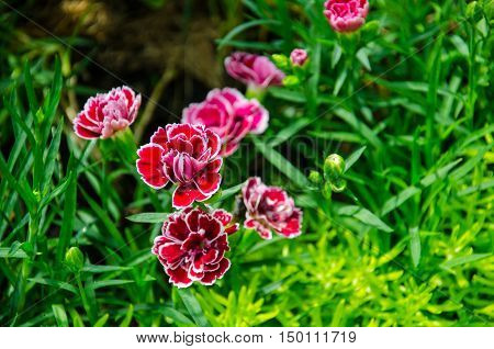 Beautiful Red Carnation with Green Background Thailand