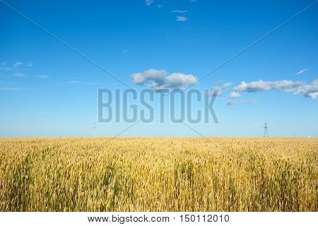 Wheat field with blue sky and electrical pole in center, vertical