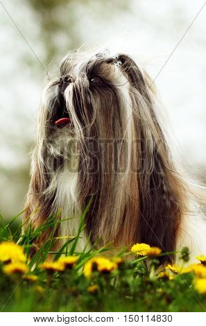 Beautiful decorative dog Shih Tzu walks in the summer on the nature. Well-groomed hair and flowing hair with a bow. Family companion for children.