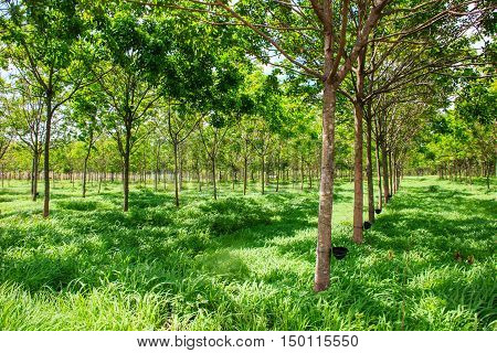 rubber trees cultivated in rows of rubber trees in plantation agriculture