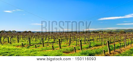 Grape vines in McLaren Vale South Australia.