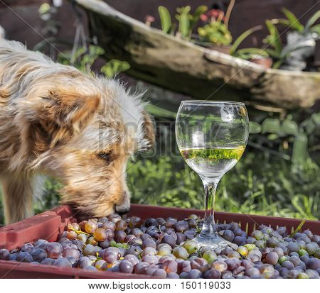 Dog and a half-finished glass of wine with grapes on a box, summer day