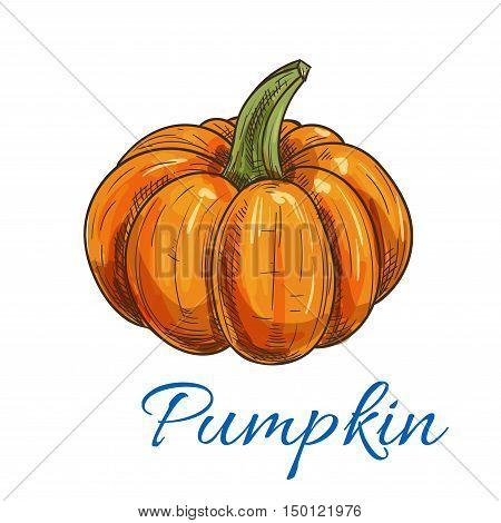 Sweet orange pumpkin vegetable sketch icon of ripe autumn gourd with green thick stem. Organic farming, halloween decoration or vegetarian food design
