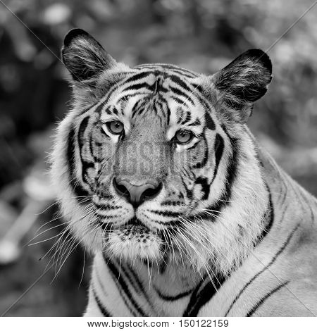 black and white tiger    in the big zoo