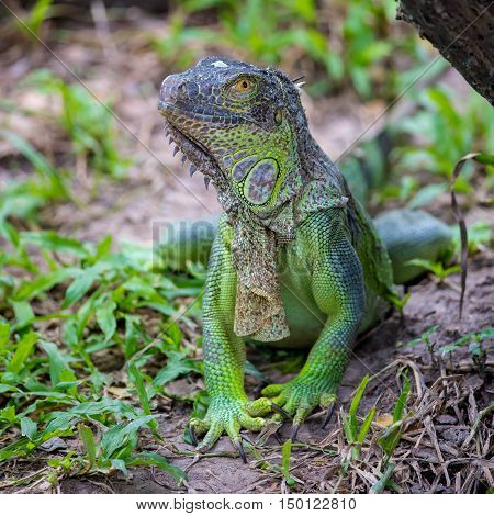 Green iguana  staying in the  big zoo