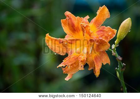 Beautiful orange varietal daylily in water drops after a rain
