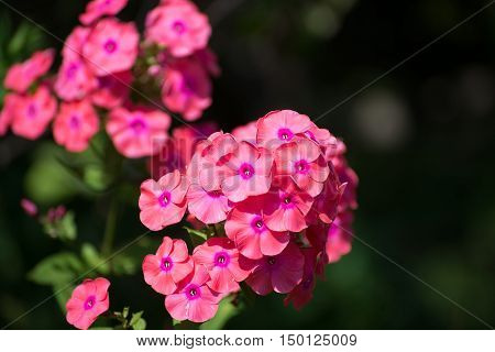 Beautiful coral phlox is bloom a profusely