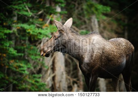 Wild Moose in the forest Kananaskis Country Alberta Canada