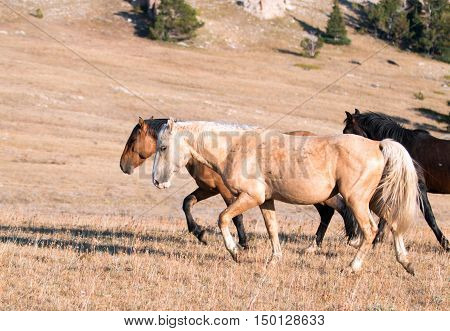 Wild Horse Palomino and Bay studs walking together on Sykes Ridge in the Pryor Mountain Wild Horse Range in Montana - Wyoming USA
