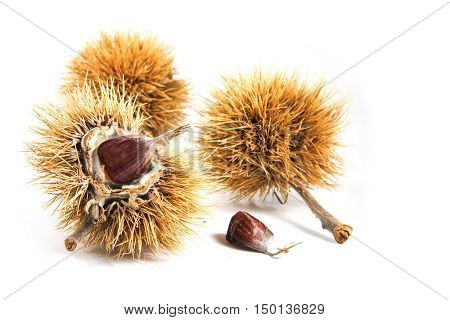 sweet chestnut fruits (Castanea sativa) in the prickly peel closeup isolated on a white background selected focus narrow depth of field