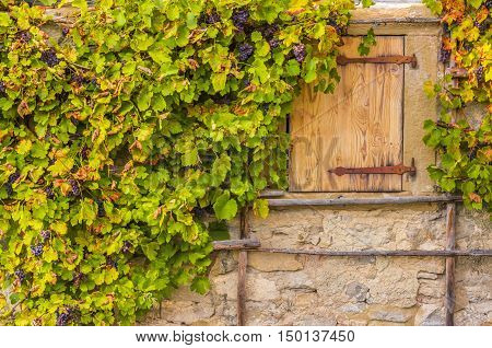 Grape vines on house wall stone - Autumnal background with grape vines hanging on the stone wall from an old german house