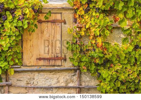 Wooden trapdoor and grape vines - Rustic image in autumnal settings with the wooden trapdoor and the hanging grape vines on the wall of an old german house