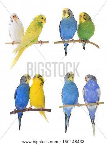 blue, green, yellow and white budgies isolated on white background
