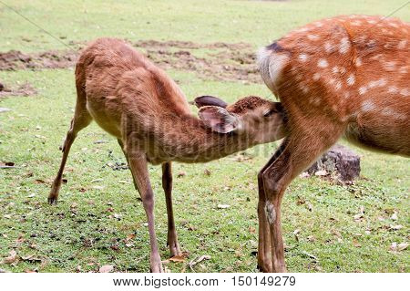 Deer of the children from the back of the mother deer are drinking milk