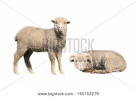 two a sheeps isolated on white background