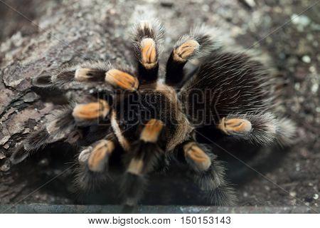 Mexican redknee tarantula (Brachypelma smithi). Wildlife animal.