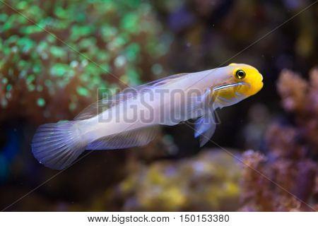 Blueband goby (Valenciennea strigata). Sea life.