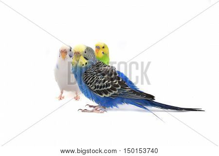 three a budgie isolated on white background