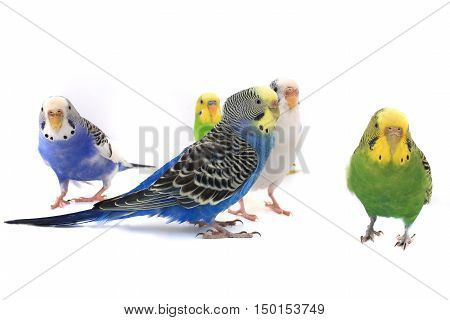 blue and green budgies isolated on white background