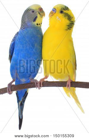 two a budgerigars isolated on white background