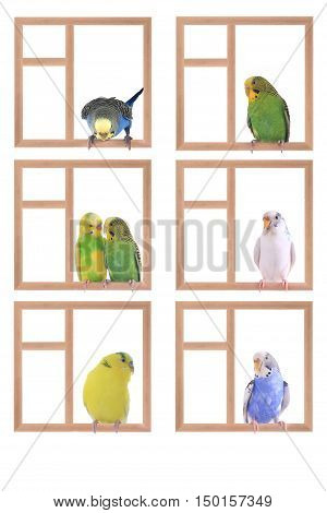 budgie sitting in a window isolated on white background