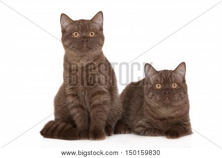 two brown british shorthair kittens on white