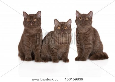 three british shorthair kittens posing on white