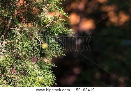 Green cones on the branch of Cupressus sempervirens. Blurry background