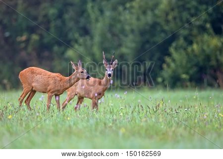 Roe-deer with buck deer in a clearing