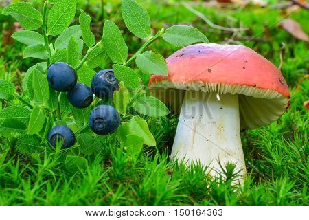 Gifts of nature ripe delicious wild blueberries and toxic Russula emetica or Sickener mushroom in the green moss sharing the same habitat