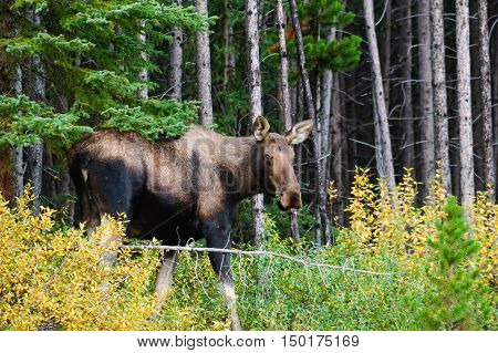 Wild mountain moose in the forest Alberta Canada