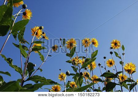 Tall yellow coneflowers from a low angle against a clear blue sky Rudbeckia grandiflora