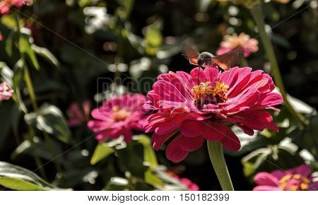 Pollination of a flower insect. The insect pollinates a flower to a raid. Outdoors. Horizontal format. Color. Photo.