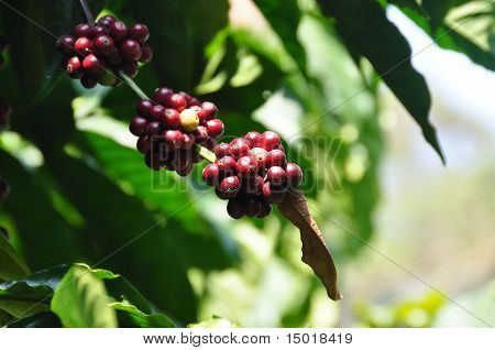 Robusta Coffee Plants