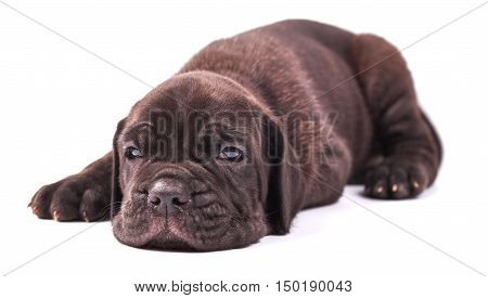 Young puppie italian mastiff cane corso (1 month) lying on white background.