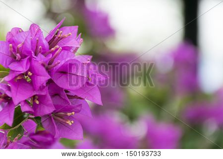 pink flower background with selective focus. Purple Bougainvillea's flora (Bougainvillea spectabilis) close up. relax and fresh in nature.