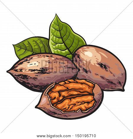 Whole and half shelled walnuts with green leaves, vector illustration isolated on white background. Drawing of walnuts, whole and half open, delicious healthy vegan snack