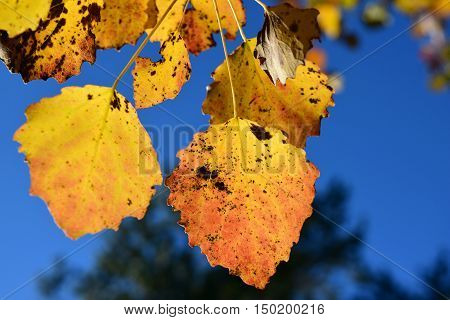 Yellow leaves on on a sunny autumn day, on a blue sky background. Asp tree.
