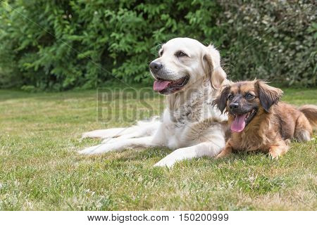 Side view portrait of the Golden Retriever and cute brown crossbreed dog with protruding tongue are lying on the lawn together. Green plants are in the background. Horizontally.