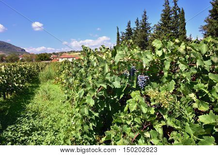 Red bunch of grapes on a vine ready for picking. The vineyard in Nemea region one from famous wine producing region in Greece
