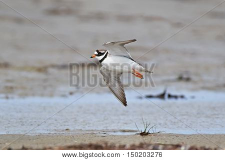Common ringed plover in flight with water and sand in the background