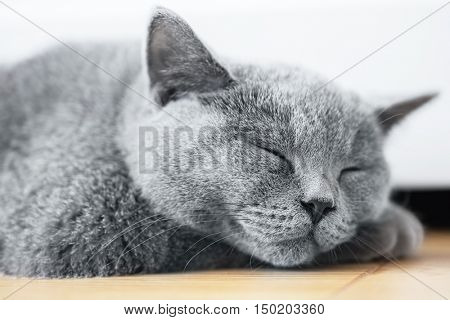 Young cute cat sleeping on wooden floor. The British Shorthair pedigreed kitten with blue gray fur
