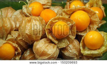 Fresh cape gooseberry fruit or Physalis peruviana or Peruvian groundcherry fruit.