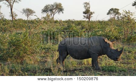 A rhino in the Kruger National Park in South Africa, on the head are two Red-billed Oxpecker on foraging