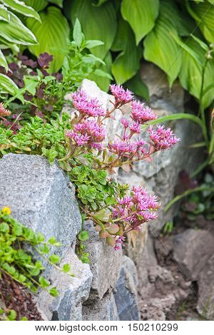 Sedum with flowers growing on the rocks in a corner of the garden.